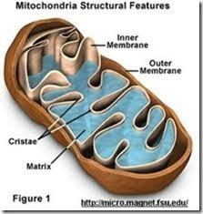 mitochrondria