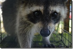 coon (28)