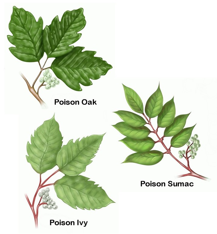 How to Get Rid of Poison Ivy  Mikes Backyard Nursery