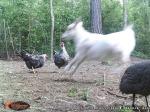 Goat Photo Bomb
