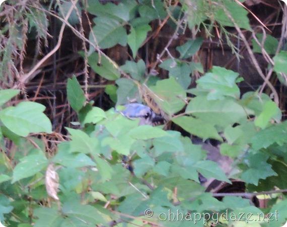 2016-05-12 baby blue jay (31)